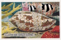 Cloth of Gold Cone-1 67