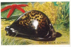 Hump Backed Cowry-1 75