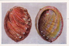 Haliotis of Zeeoor-1