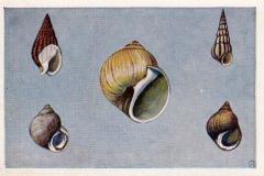 Slakken onzer kust-1