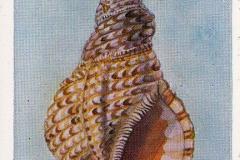 Tritonshoorn-1