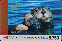 Japan Sea otter eats clam 560