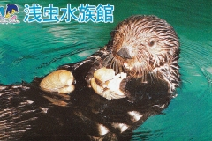 Japan Sea otter eats clam 561