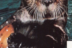 Japan Sea otter eats clam 563