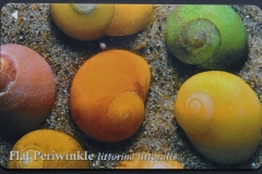 Jersey Littorina littoralis 104