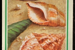 Bivalve Gastropode-002