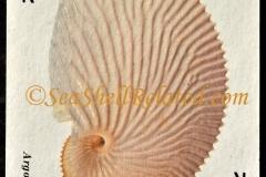 Nautilidae Argonauta argo