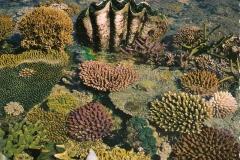 Tridacna gigas 1745-1