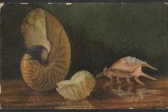 Tuck Postcard, Nautilus, Lambis, Tonna, 1547-1