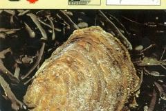 Oester Ostrea edulis-1