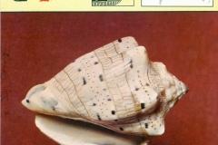 Rolschelp Voluta-1