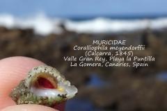 Coralliophyla meyendorffii