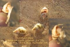 Nassarius clarus Australia