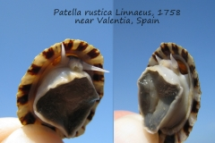 Patella rustica Valentia Spain