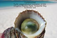Turbo argyrostomus Australia