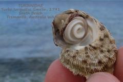 Turbo torquatus Fremantle Australia-001
