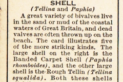 15 Tellina and Paphia-2