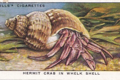 31 Hermit Crab in Whelk Shell-1