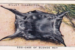 7 Egg-Case of Blonde Ray-1