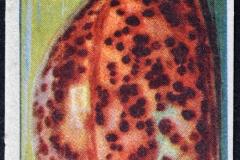 Cypraea tigris-1 156
