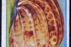 Harpa articularis-1 148
