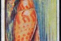 Mitra episcopalis-1 155