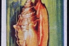 Strombus aurisdianae-1 159
