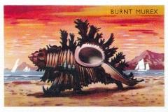Burnt Murex-1 66