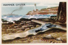 Hammer Oyster-1 61