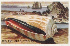 Red Mouthed Stromb-1 65
