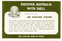 Red Mouthed Stromb-2 65