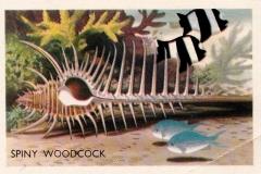 Spiny Woodcock-1 62