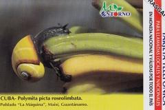 Cuba Polymita picta roseolimbata 658