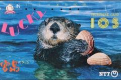 Japan Sea otter eats clam 39