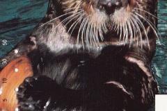 Japan Sea otter eats clam 563