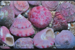 Jersey Calliostoma zizyphinum 107