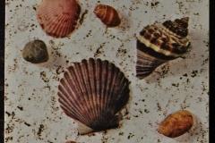 Bivalve Gastropode