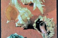 Muricidae Conidae Pectinidae