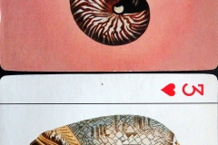 Nautilidae Olividae