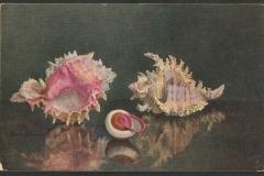 Tuck Postcard, Murex, Landsnail,1396-1