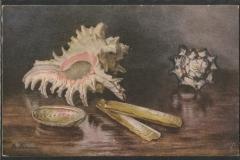 Tuck Postcard, Murex ramosus etc.1612-1