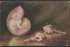 Tuck Postcard, Nautilus pompilius, Murex etc.1613-1