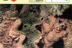 Bakschelp Tridacna-1