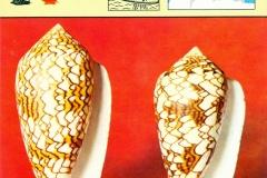 Conus textile-1
