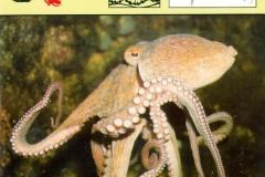 Inktvis Octopus-1