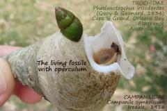 Campanile synbolicum, Phasianotrochus irisodontes
