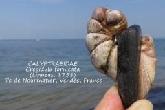 Crepidula fornicata