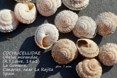 Landsnail-Obelus-mirandae-La-Gomera