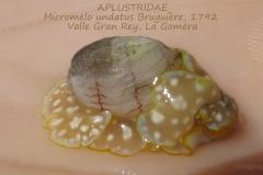 Micromelo undata, Canaries, la Gomera