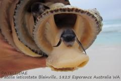 Patella laticostata Esperance Australia